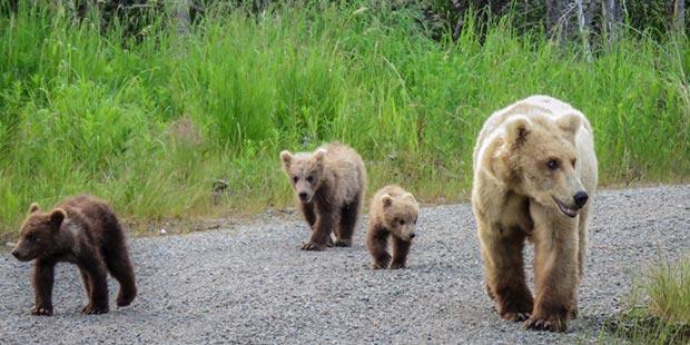 Momma Bear & Cubs in Katmai