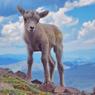 Adriana Puchany-Bighorn sheep lamb