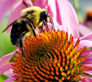 Bumblebees vs. Honeybees