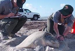 Donna Shaver - Turtle Saver