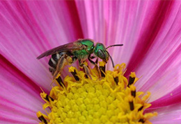 Green Sweat Bee by Tim Stanley