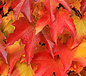 Why Leaves Change Color in the Fall