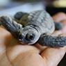 Tiny Loggerhead turltle