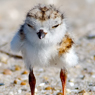 Piping Plover Baby